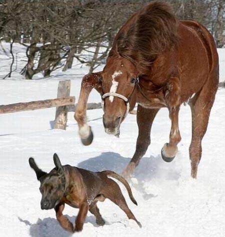 Horse Chasing Dog
