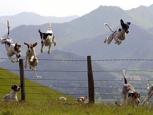 Foxhound Dogs Jumping Barb-Wire Fence