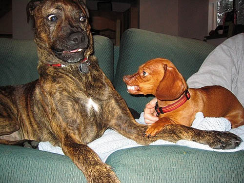 Mastiff vs Daschund