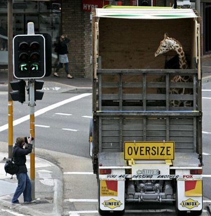Reuters Photo 2007 | Giraffe Transport
