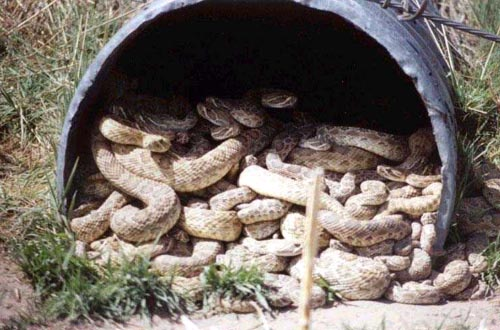 Rattlesnakes In A Pipe