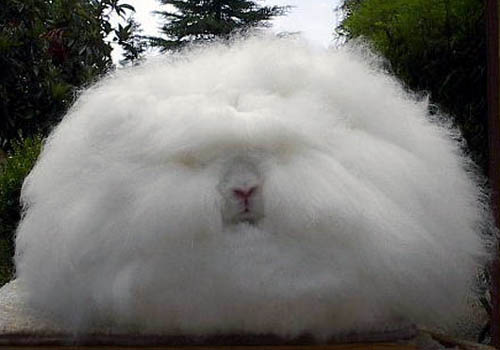 Fur Ball Angora Bunny Rabbit