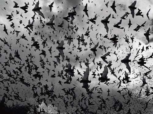 Bats Swarming At Dusk