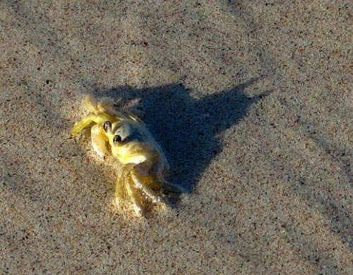 Batman Shadow From A Crab On The Beach