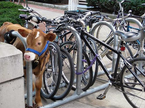 Cow Tied To A Bike Rack