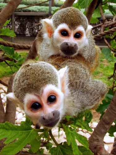 http://www.foundshit.com/pictures/animals/cute-squirrel-monkeys.jpg