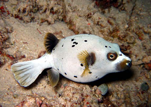 Blackspotted Pufferfish | Dog Faced Puffer Fish