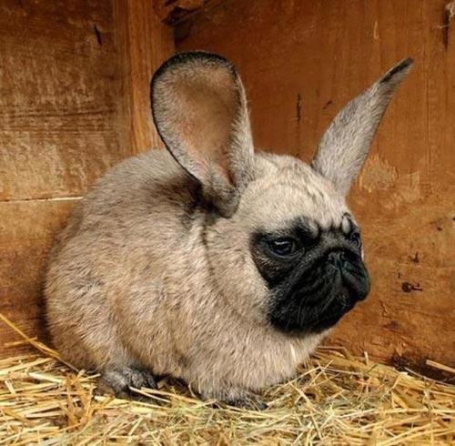 Pug Bunny