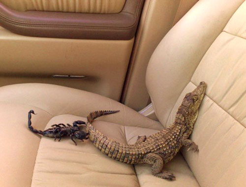 Crocodile And Scorpion In The Back Seat