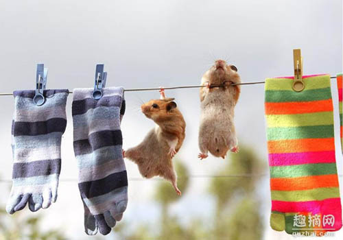 Hamsters Hanging From A Clothes Line