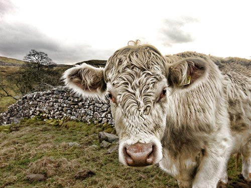 HDR Cow Photography | Malham, Yorkshire