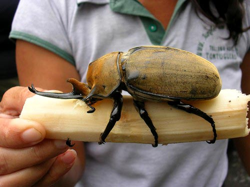 Giant Rhinoceros Beetle