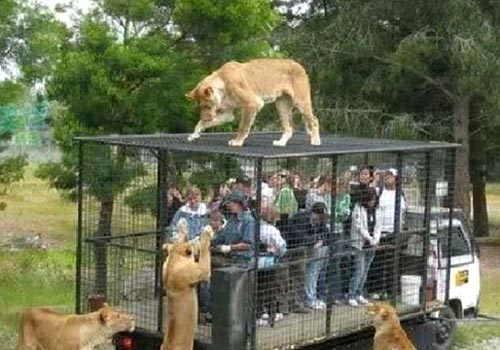 People In A Cage Taking Pictures Of Lions