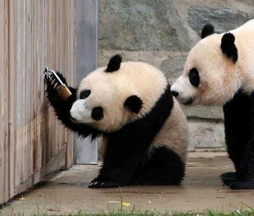 Two Pandas Investigate Padlock