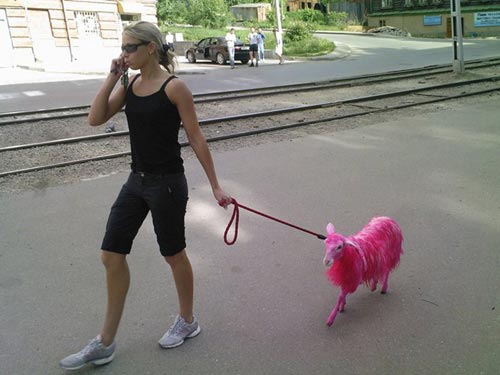 Pet Goat Dyed Pink