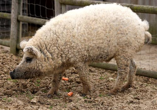 Mangalitza Sheep Pig
