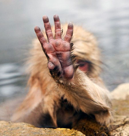 Monkey Holding Up Hand To Hide Face