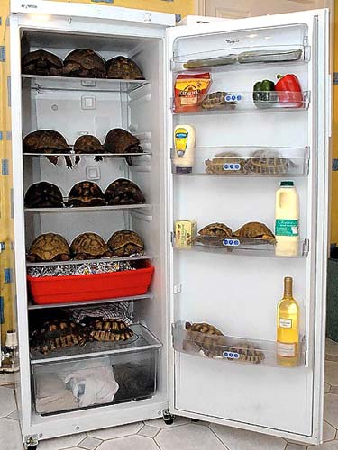 75 Turtles Hibernating In A Fridge