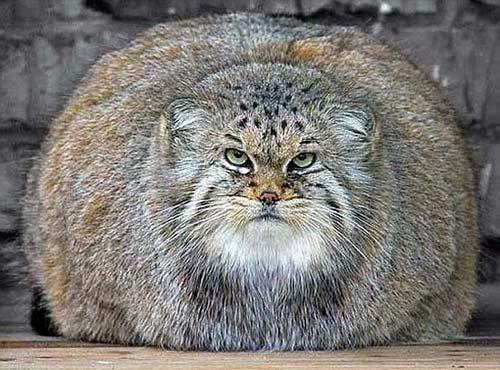 Overweight Wildcat