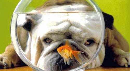 Bulldog Watching Goldfish