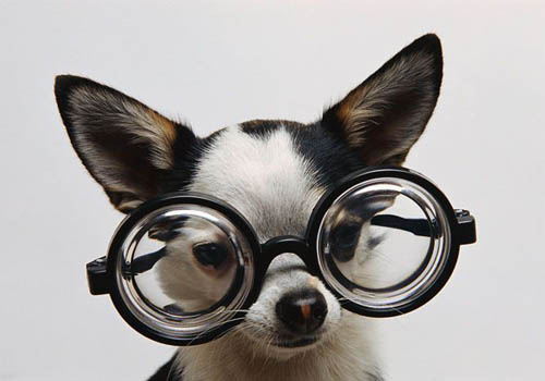 Funny Chihuahua wearing Coke Bottle Glasses