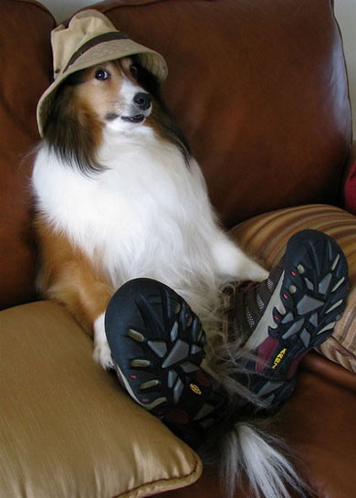 Funny Collie wearing Shoes and Hat
