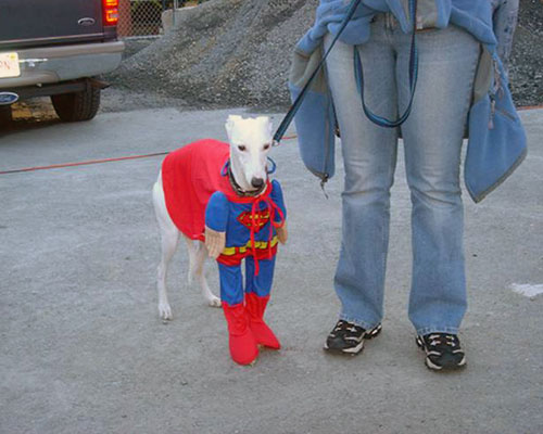 Greyhound Dog in a Superman Costume