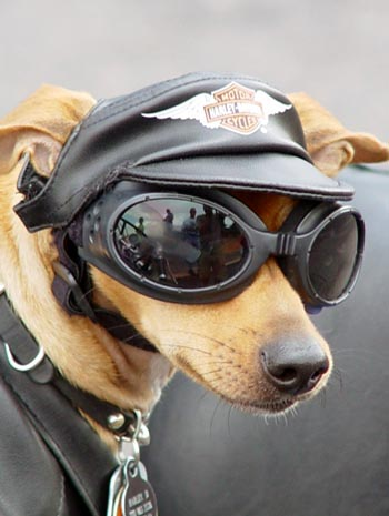 Dog Wearing Sunglasses and Harley-Davidson Gear