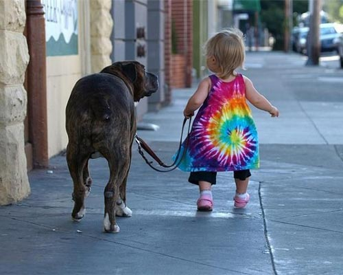 Toddler Walking A Mastiff Dog