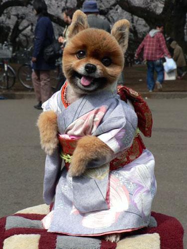 Shiba Puppy dressed in a Kimono