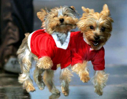 Twin Yorkies Jumping