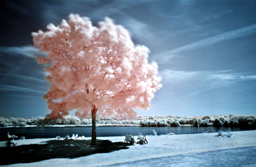 Infared Cotton Candy Tree