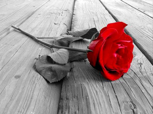 red rose flower background. Tags: desaturate, flowers