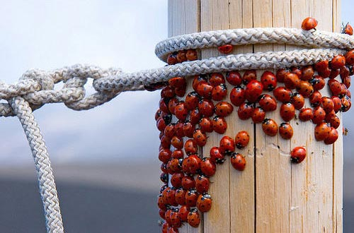 Swarm of Ladybugs Photography
