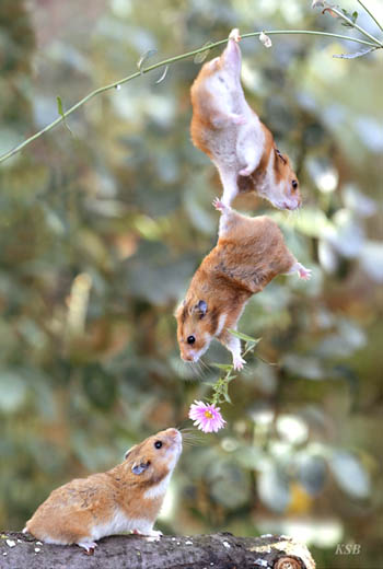Hamsters Working Together